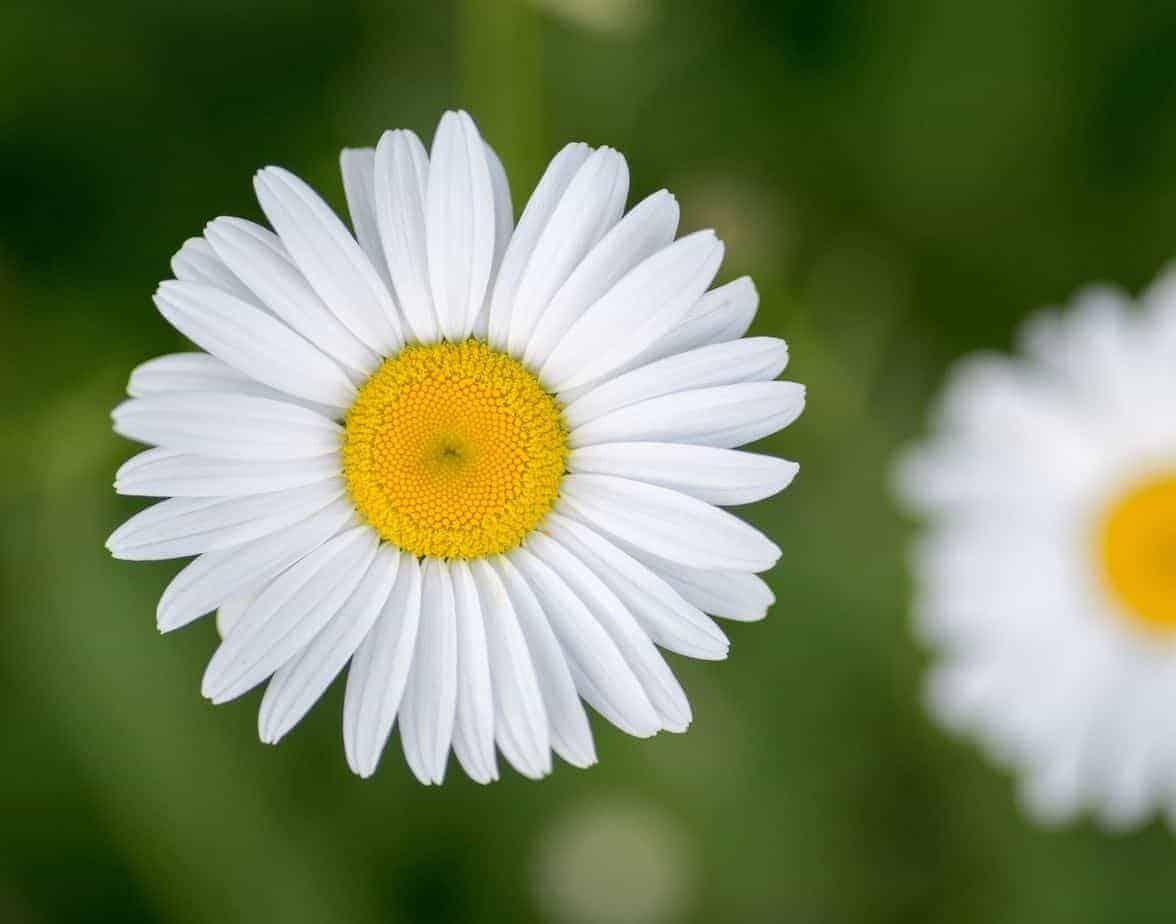 Daisy flower - Marguerita