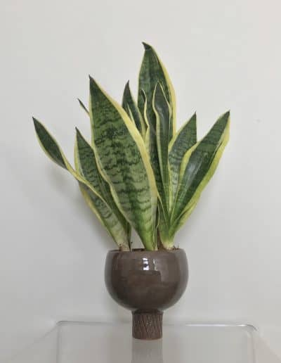 Snake plant in glazed ceramic raised pot