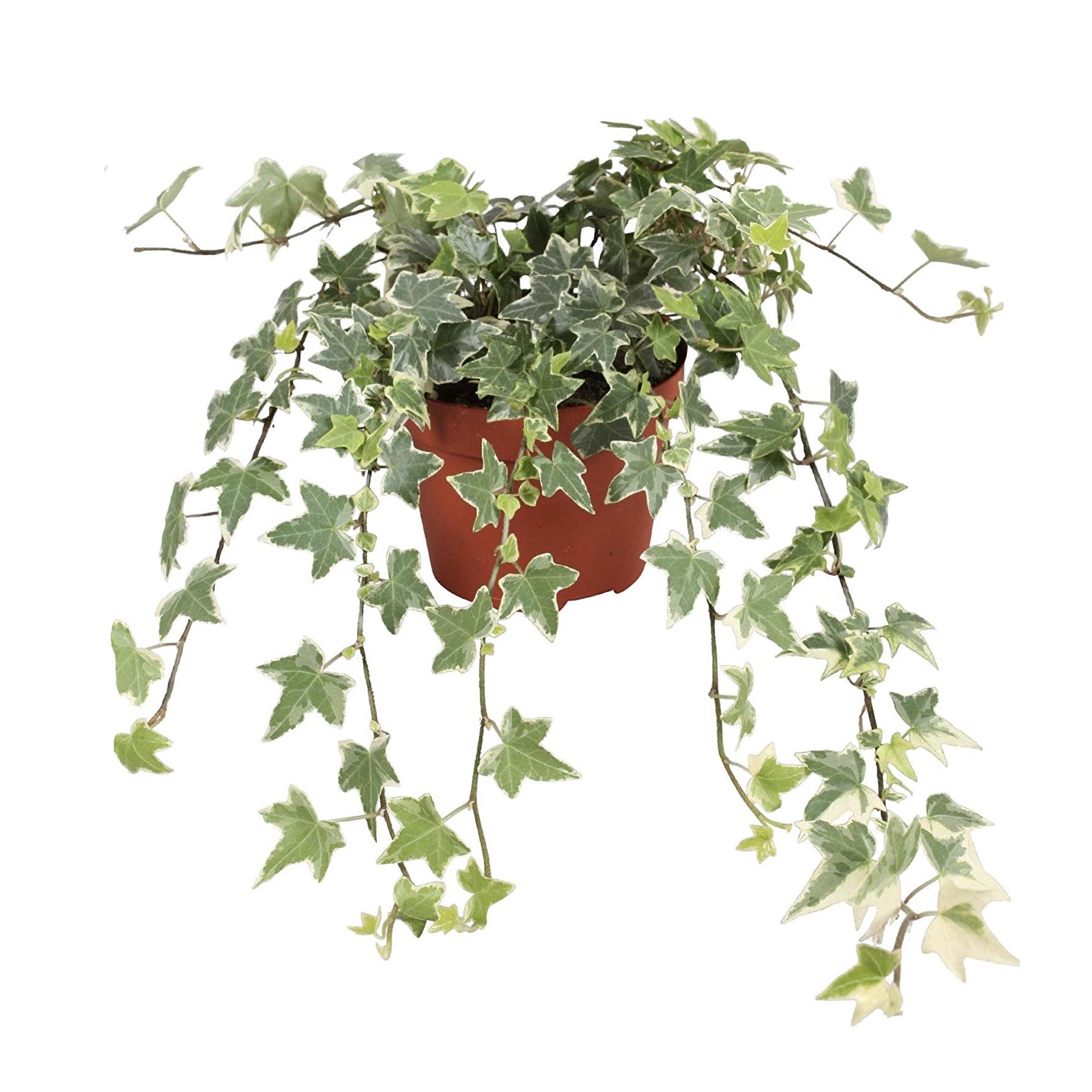 hanging and climbing ivy hedera helix eva