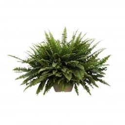 Green fern hanging plant
